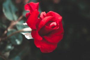 Nằm mơ thấy hoa hồng đánh con gì? Ý nghĩa giấc mơ