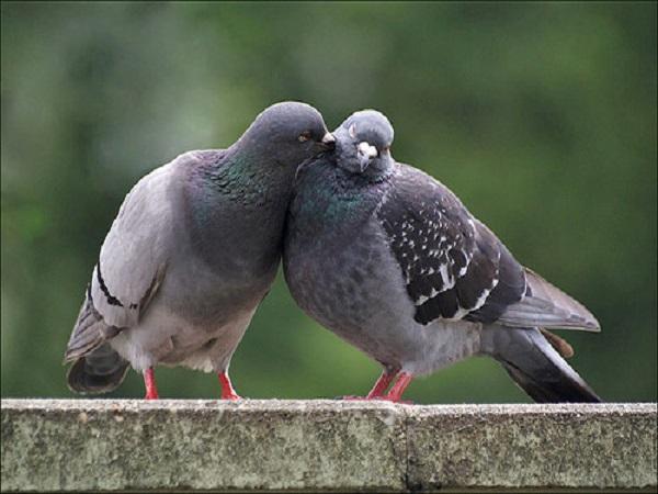 Nằm mơ thấy chim bồ câu đánh con gì